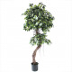 Ficus potted 150cm height, green